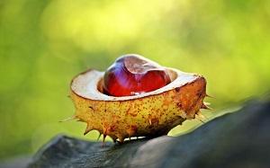 Na co pomaga kasztanowiec zwyczajny? Zastosowanie rośliny w medycynie i kosmetyce